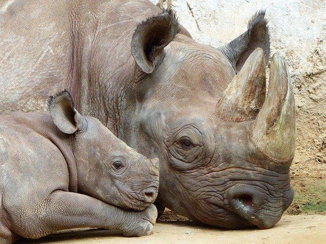 nosorožec a mládě
